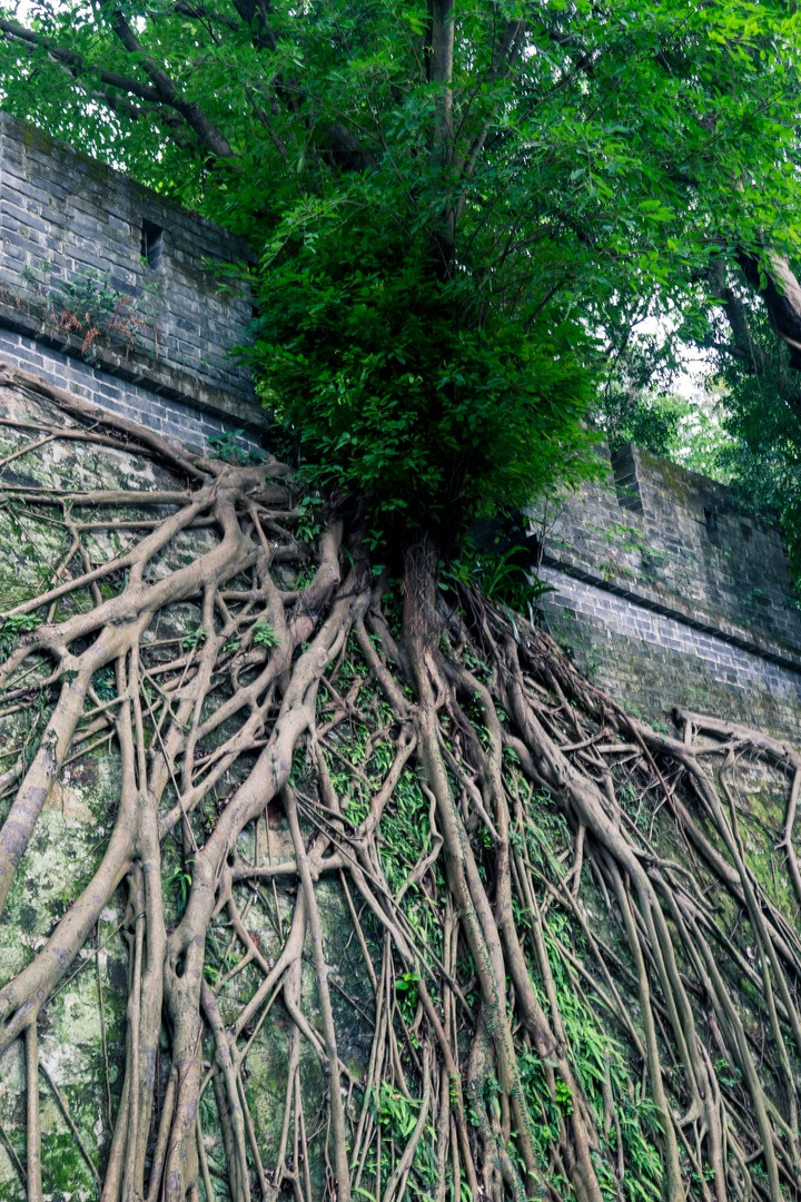 Tree growing from a wall