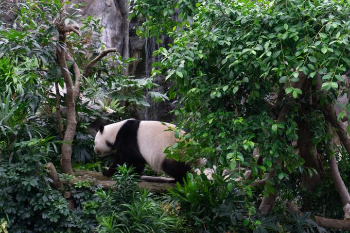 Grayscale panda