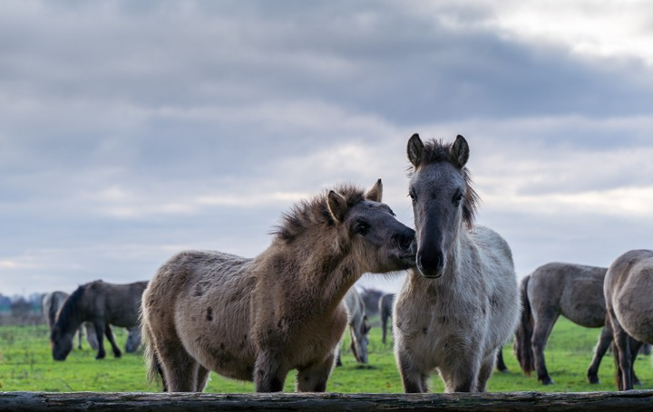 Horse kissing another horse