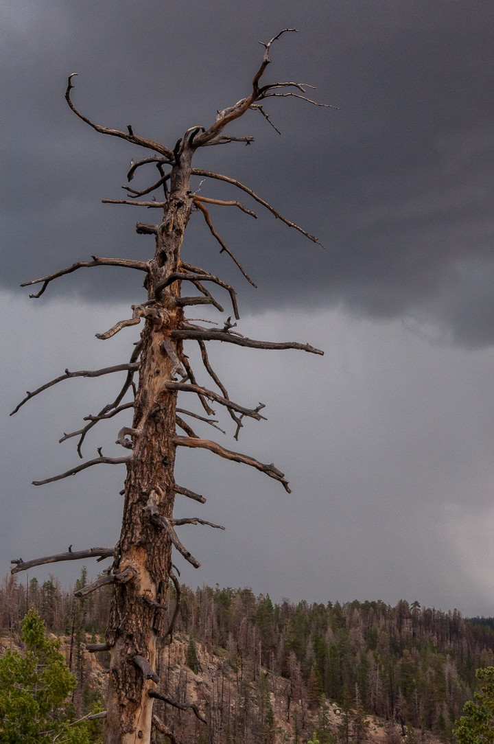 Dead tree in Bryce Canyon National Park