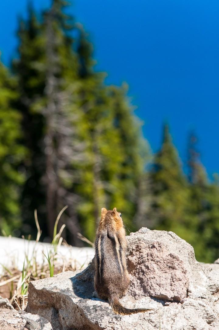Squirrel at Crater Lake