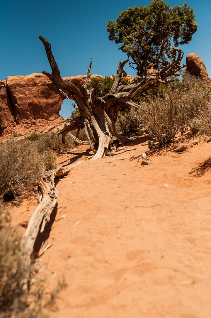 Dead tree at Arches Nat. Park