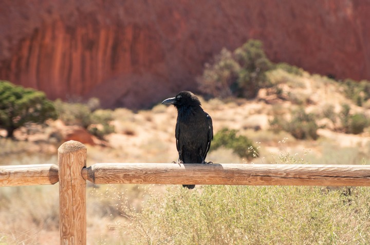Crow on fence at Arches Nat. Park