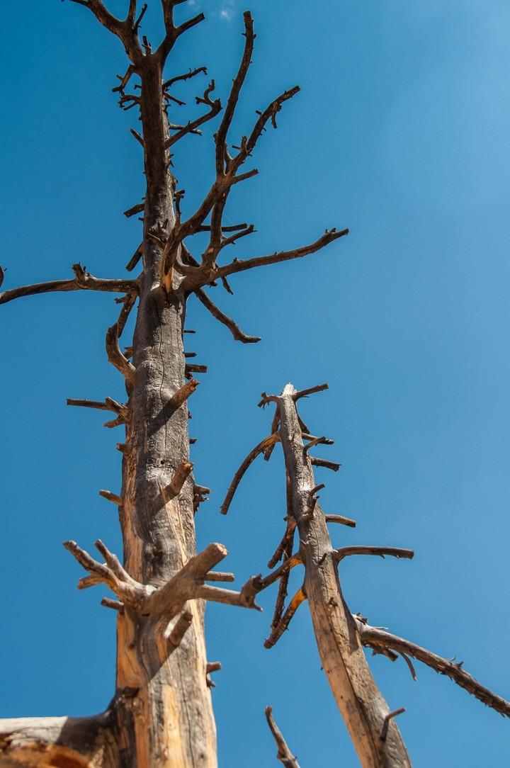 Dead tree at Bryce Canyon Nat. Park
